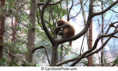 Wild monkey on the tree - Wild monkey in Wulingyuan mountain...
