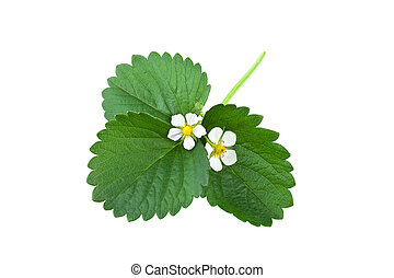 Strawberry plant. Leaf with flower isolated on white