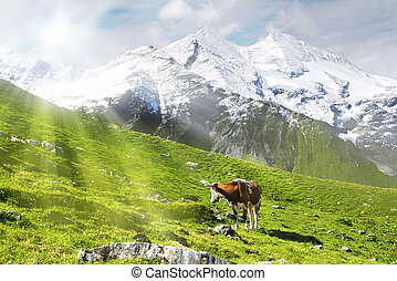 Cow and sun - Cow standing on an alpine meadow is looking...