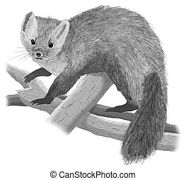 American Marten Martes americana Pencil and Computer Drawing...