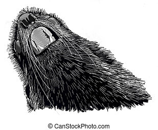 Northern Fur Seal bull Callorhinus ursinus Scratch board and...