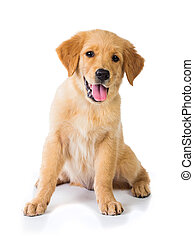 Golden Retriever dog sitting on the floor, isolated on white...