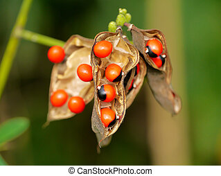"""Beautiful seeds are poisonous """"Jequirity seeds""""."""