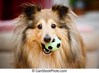 Sheltie - Brown sheltie playing with green ball toy