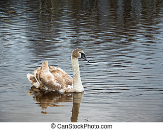 Beautiful young swans in lake - Beautiful young swans with...