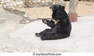Himalaya bear in the open-air cage of a zoo catches...