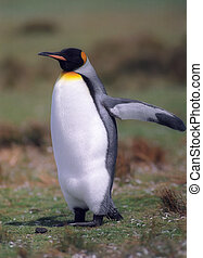 King penguin in Falkland islands