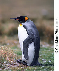 King penguin - Sleeping king penguin in Falkland islands