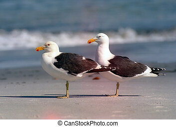Two gulls - Two white gulls in sea shore,Larus dominicanus