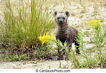 Closeup of a baby Hyena - Baby Hyena standing and watching