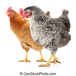 Two hens isolated on white, studio shot