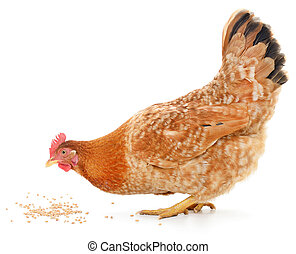 Hen and grain - A vibrant red hen is pecking away at grain...