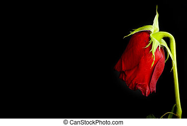 lost love - red dying rose on black background - lost love...