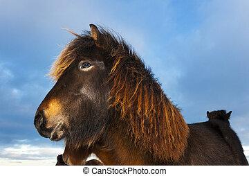Icelandic Horse Eguus cabballus portrait, close up and with...