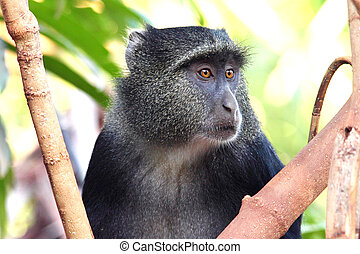 Portrait of a blue diademed monkey, Cercopithecus mitis,...