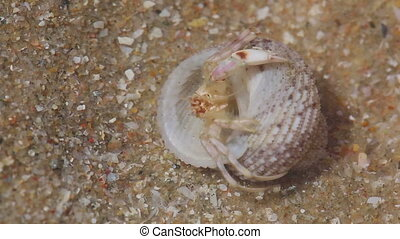 Hermit crab - Tiny hermit carb in sea shell Macro shot