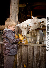 Little boy feeds goats a handful of fallen maple leaves.