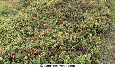 cowberry berry plant - Cowberry lingonberry berry plants...