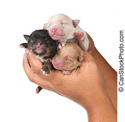 Three Cute Baby Puppies Being Held in Human Hands - Cute...