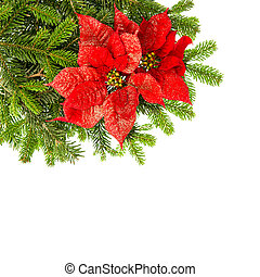 christmas tree branch with red poinsettia flower over white...