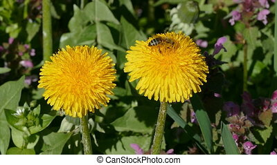 Spring flowers, dandelion and bee