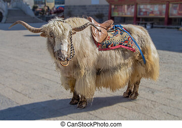 Himalayan Yak, domesticated and decorated. A ride on these...