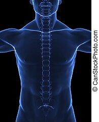 radiografía, humano, cuerpo