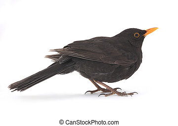 blackbird - turdus merula - blackbird isolated on white...