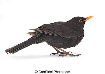 blackbird - turdus merula - blackbird isolated on white...