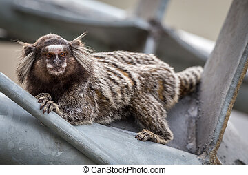 Common Marmoset - Common marmoset or White-eared marmoset