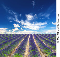 Blossoming lavender field with beautiful blue sky