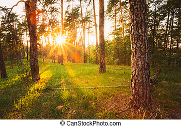 Sunbeams Pour Through Trees In Summer Autumn Forest At Sunset. R