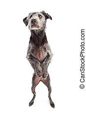 Terrier Dog Dancing on Hind Legs - A large terrier...
