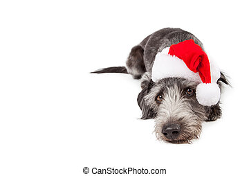 Santa Crossbreed Dog Laying With Copyspace - Tired dog...