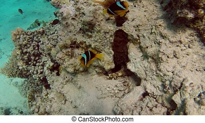 Clownfish shelters and anemone on a tropical coral reef in...