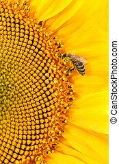 abelha, cobrar, néctar, ligado, grande,...