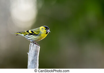 Siskin on top - A Siskin (Carduelis spinus) male on top of a...