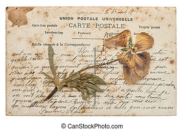 dried pansy flower and old post card isolated on white...