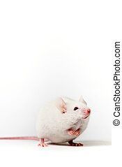 White mouse - White house mouse isolated over white