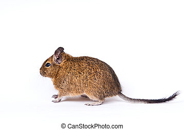 degu isolated over white