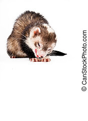Ferret isolated