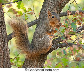 squirrel eating nut - Sciurus niger, a tree squirrel of...