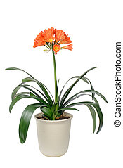 clivia miniata in full bloom - clivia miniata pot and...