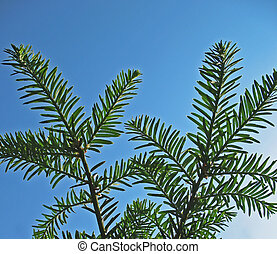 Branches of Canadian hemlock Tsuga canadensis, pine family,...