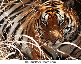 Tiger stare - A wild tiger looks directly at the lens