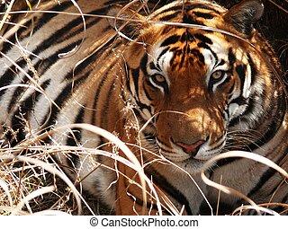 Tiger, olhar fixo