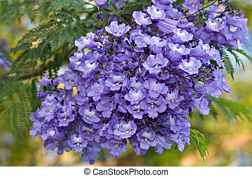 Tropical flowers - Jacaranda tree is native in Tropical...