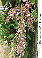 Epidendrum stamfordianum is an epiphytic orchid in the genus...