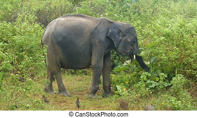 indian elephant eating grass in jungle