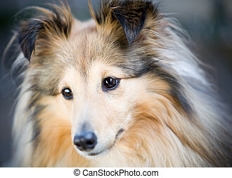 Sheltie - Close up of cute little sheltie dog
